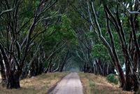 Australian Bush Track Peter Kervarec