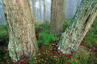 Three Old Bush Gum Trees with Moss