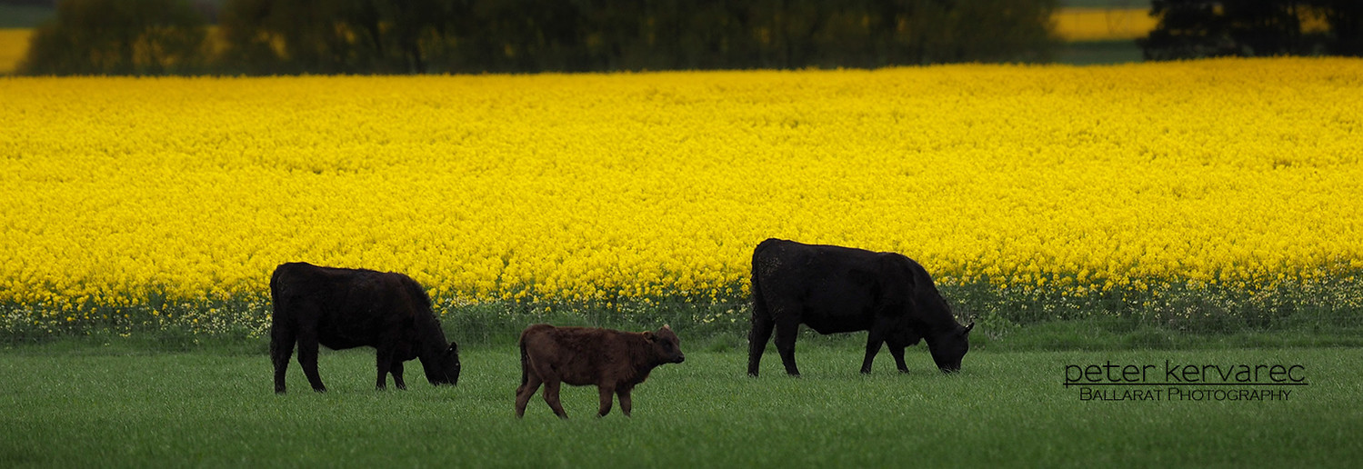 Ballarat Photography, Canola, Farm , Cattle
